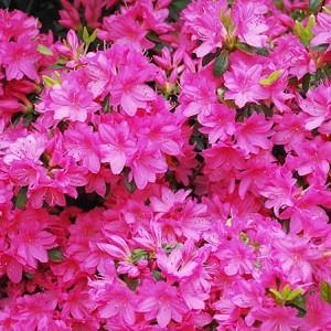 Rhododendron 'Girard's Fuchsia', 'Girard's Fuchsia' Rhododendron, 'Girard's Fuchsia' Azalea, Evergreen Azalea, Midseason Azalea, Purple Azalea, Purple Rhododendron, Purple Flowering Shrub