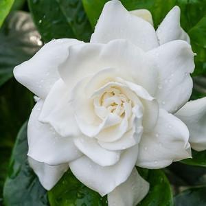 Gardenia jasminoides Veitchii, Cape Jasmine Veitchii, Veitchii Cape Jasmine, Cape Jessamine Veitchii, Everblooming Gardenia, Fragrant flowers, evergreen shrub, White flowers