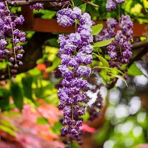Wisteria Floribunda 'Yae-kokuryu',Japanese Wisteria 'Yae-kokuryu',Wisteria 'Black Dragon', Fragrant Vine, Blue Flowers, Purple Flowers