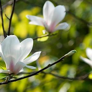 Magnolia denudata, Yulan Magnolia, Lily Tree, Lilytree, Naked Magnolia, Slender Magnolia, White magnolia, Magnolia heptapeta, Winter flowers, Spring flowers, White flowers, fragrant trees, fragrant flowers