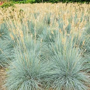 Festuca Glauca 'Elijah Blue',Blue Fescue 'Elijah Blue', Festuca Ovina Glauca 'Elijah Blue', Festuca Ovina Glauca 'Elija-blue', Blue Fescue, drought tolerant grass, drought tolerant perennial