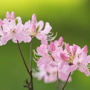 Rhododendron Vaseyi, Pink-Shell Azalea, pink flowers, pink rhododendron, pink flowering shrub
