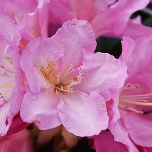 Rhododendron 'Ken Janeck', Rhododendron Yakushimanum 'Ken Janeck', pink flowers, pink rhododendron, pink flowering shrub