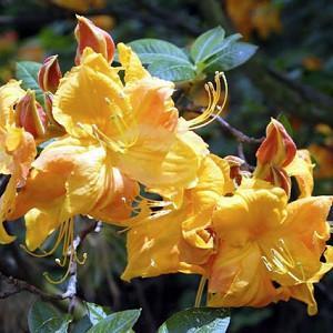 Rhododendron 'Klondyke', 'Klondyke' Rhododendron, 'Klondyke' Azalea, Deciduous Azalea, Early Midseason Azalea, Midseason Azalea, Yellow Azalea, Yellow Rhododendron, Yellow Flowering Shrub