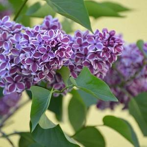 Syringa vulgaris 'Sensation',Syringa 'Sensation', Lilac 'Sensation', Bicolor Lilac, Purple lilac, Fragrant Lilac