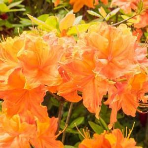 Rhododendron Calendulaceum, Flame Azalea, Azalea calendulacea, Azalea lutea, Late-Midseason Azalea, Late Season Azalea, Deciduous Azaleas, Yellow Azalea, Yellow  Rhododendron, Yellow Flowering Shrub