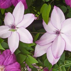 Clematis 'Fond Memories', Large-Flowered Clematis 'Fond Memories', group 3 clematis, Pink clematis, Clematis Vine, Clematis Plant, Flower Vines, Clematis Flower, Clematis Pruning