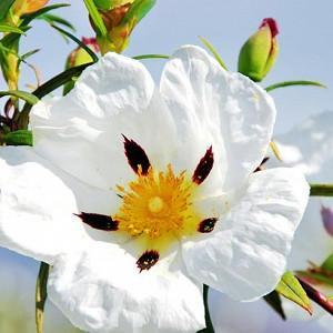 Cistus Ladanifer, Gum Rockrose, Laudanum, Labdanum,Common Gum Cistus, Brown-Eyed Rockrose, Crimson-Spot Rockrose, Cistus maculatus, Cistus Ladaniferus, Mediterranean plants, Mediterranean shrubs, white flowers