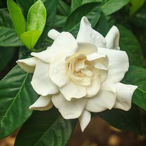 Gardenia jasminoides Mystery, Cape Jasmine 'Mystery', Mystery Cape Jasmine, Cape Jessamine Mystery, Fragrant flowers, evergreen shrub, White flowers, Fragrant flowers, evergreen shrub, White flowers