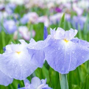 Japanese Iris Pleasant Earlybird, Japanese Flag Pleasant Earlybird, Japanese Water Iris Pleasant Earlybird, Iris kaempferi Pleasant Earlybird, Blue Japanese Iris, Best Japanese irises