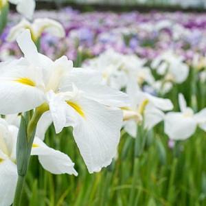 Japanese Iris Alpine Majesty, Japanese Flag Alpine Majesty, Japanese Water Iris Alpine Majesty, Iris kaempferi Alpine Majesty, White Japanese Iris, Best Japanese irises