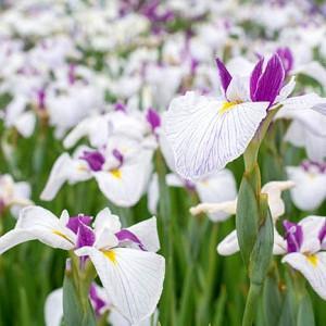 Japanese Iris Queen's Tiara, Japanese Flag Queen's Tiara, Japanese Water Iris Queen's Tiara, Iris kaempferi Queen's Tiara, White Japanese Iris, Best Japanese irises