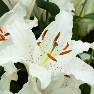 Lilium 'Muscadet', Lily 'Muscadet', Oriental Lily ''Muscadet', Summer flowering Bulb, mid summer lilies, late summer lilies, white lilies, Fragrant lilies
