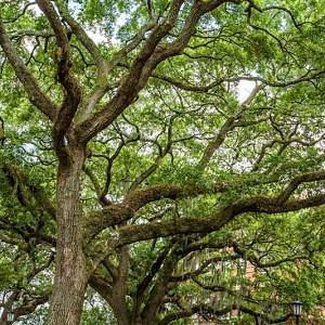 Quercus virginiana, Live Oak, American Live Oak, Southern Live Oak, Evergreen Oak,