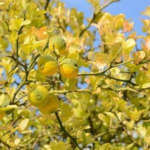 Poncirus Trifoliata, Hardy Orange, Japanese Bitter Orange, Japanese Hardy Orange, Aegle sepiaria, Citrus trifoliata, Trifoliate Orange, Flowering Shrub, Fruit Shrub