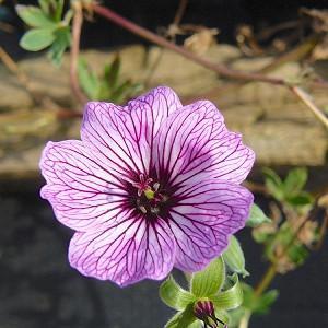 Geranium (Cinereum Group) 'Laurence Flatman', Cranesbill 'Laurence Flatman', Ashy Cranesbill, Geranium cinereum 'Laurence Flatman', Geranium 'Laurence Flatman', Hardy Geraniums, Best geraniums, Best rock garden Geranium, pink geranium
