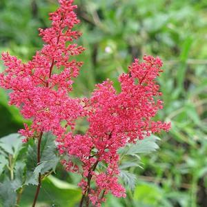 Astilbe 'Montgomery', Astilbe Japonica 'Montgomery', False Spirea 'Montgomery', False Goat's Beard 'Montgomery', Red Astilbes, Red flowers, flowers for shade