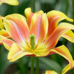 Tulipa Ballade Dream,Tulip 'Ballade Dream', Lily-Flowered Tulip 'Ballade Dream', Lily-Flowered Tulips, Spring Bulbs, Spring Flowers,Tulipe Ballade, Lily Flowered Tulip, Lily Flowering Tulip, Bicolor Tulip, Yellow Tulip