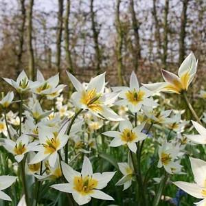 Tulip Turkestanica,Tulipa Turkestanica,Tulipe Turkestanica, Turkestan Tulip, Botanical Tulips, Tulip Species, Rock Garden Tulips, Wild Tulips, Early blooming tulips