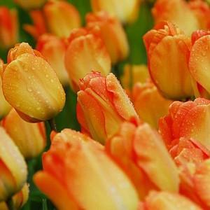Tulipa Daydream, Tulip 'Daydream', Darwin Hybrid Tulip 'Daydream', Darwin Hybrid Tulips, Spring Bulbs, Spring Flowers, Tulipe Daydream,Tulipes Darwin, Apricot tulips, Orange tulips