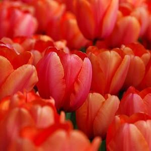 Tulipa 'Apricot Impression',Tulip 'Apricot Impression', Darwin Hybrid Tulip 'Apricot Impression', Darwin Hybrid Tulips, Spring Bulbs, Spring Flowers, Tulipe 'Apricot Impression', Apricot Tulip, Orange Tulip