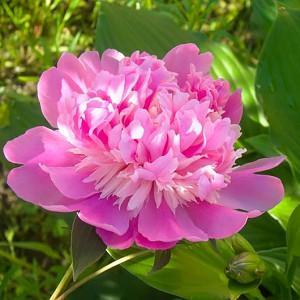 Paeonia Pink Derby, Peony Pink Derby, Pink Derby Peony, Chinese Peony Pink Derby , Common Garden Peony Pink Derby, Pink Peonies, Pink Flowers