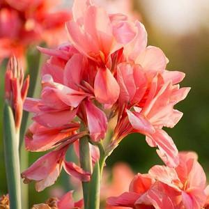 Canna 'City Of Portland', Indian Shot 'City Of Portland', Cana Lily City Of Portland, Canna Lily bulbs, Canna lilies, Salmon Canna Lilies