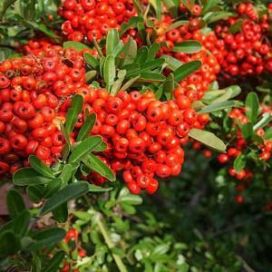 Pyracantha koidzumii 'Victory', Formosa Firethorn 'Victory', Taiwan Firethorn 'Victory', Evergreen Shrubs, White flowers, Orange Fruits, Red Fruits, drought tolerant flowers, Flowering Shrub