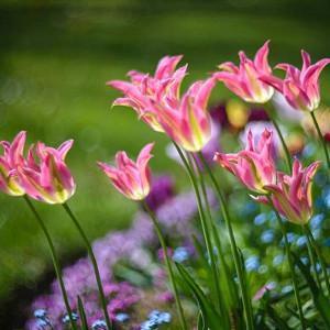 Tulipa 'Virichic' Tulip 'Virichic', Lily-Flowered Tulip 'Virichic', Lily-Flowering Tulip 'Virichic', Lily-Flowered Tulips, Spring Bulbs, Spring Flowers, Pink tulip, mid late season tulip, mid late spring tulip