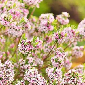 Daphne × burkwoodii 'Carol Mackie', Daphne 'Carol Mackie', Burkwood Daphne 'Carol Mackie', Fragrant shrub, Flowering Shrub, Pink Flowers