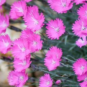 Dianthus Gratianopolitanus 'Firewitch', Cheddar Pink 'Firewitch', Cliff Pink 'Firewitch', Clove Pink 'Firewitch', Mountain Pink 'Firewitch', Sweet Pink 'Firewitch', Dianthus Caesius 'Firewitch', Pink Flowers, Dianthus gratianopolitanus 'Feuerhexe'