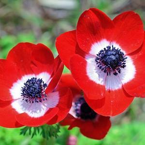 Anemone coronoria Hollandia, Poppy Anemone 'Hollandia', Spanish Marigold 'Hollandia', Windflower 'Hollandia', Crown Windflower 'Hollandia', Anemone coronaria De Caen,Red Poppy Anemone, Red Anemone de Caen
