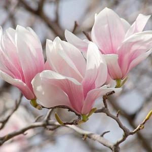 Magnolia × soulangeana Lilliputian, Lilliputian Saucer Magnolia, Lilliputian Tulip Magnolia, Lilliputian Chinese Magnolia, White magnolia, Pink magnolia, Winter flowers, Spring flowers, White flowers, Pink flowers, fragrant flowers
