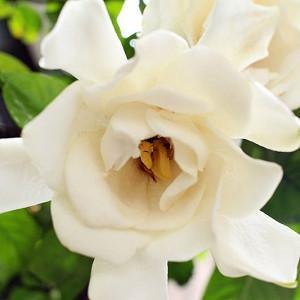 Gardenia jasminoides Chuck Hayes, Cape Jasmine 'Chuck Hayes', Chuck Hayes Cape Jasmine, Cape Jessamine 'Chuck Hayes', Hardy Gardenia, Fragrant flowers, evergreen shrub, White flowers, Fragrant flowers, evergreen shrub, White flowers