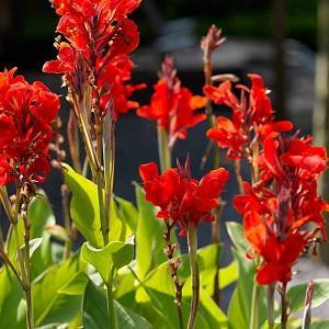 Canna 'Brilliant', Indian Shot 'Brilliant', Cana Lily 'Brilliant', Canna Lily bulbs, Canna lilies, Red Canna Lilies