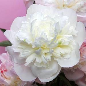Paeonia 'Duchesse de Nemours', Peony 'Duchesse de Nemours', 'Duchesse de Nemours' Peony, Chinese Peony 'Duchesse de Nemours', Common Garden Peony 'Duchesse de Nemours', White Peonies, White flowers, Fragrant Peonies