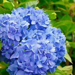 Hydrangea Macrophylla 'Glory Blue', Bigleaf Hydrangea 'Glory Blue', Mophead Hydrangea 'Glory Blue', Hortensia 'Glory Blue', Blue Hydrangea, Blue Hortensia