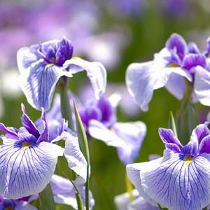 Japanese Iris Carol Johnson, Japanese Flag Carol Johnson, Japanese Water Iris Carol Johnson, Iris kaempferi Carol Johnson, Purple Japanese Iris, Best Japanese irises, White Japanese Irises