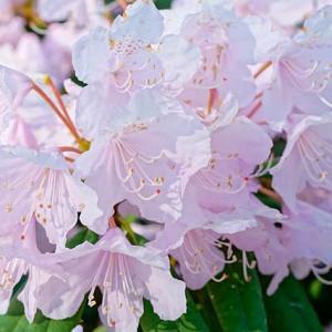 Rhododendron 'Windbeam', 'Windbeam' Rhododendron, 'Windbeam' Azalea, Deciduous Azalea, Early Midseason Azalea, Pink Azalea, Pink Rhododendron, Pink Flowering Shrub