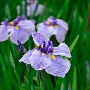 Iris Ensata 'Blue Spritz',Japanese Iris 'Blue Spritz', Japanese Flag 'Blue Spritz', Japanese Water Iris 'Blue Spritz', Sword-Leaved Iris 'Blue Spritz', Iris kaempferi 'Blue Spritz', Blue Iris, Flowers for wet soils, Plants for wet soils, Best Japanese Iris