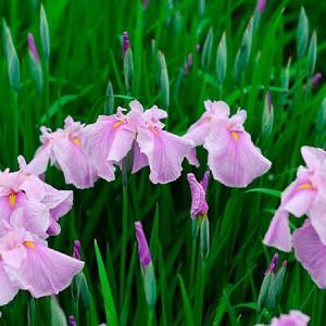 Iris Ensata 'Coho',Japanese Iris 'Coho', Japanese Flag 'Coho', Japanese Water Iris 'Coho', Sword-Leaved Iris 'Coho', Iris kaempferi 'Coho', Pink Iris, Flowers for wet soils, Plants for wet soils, Best Japanese Iris