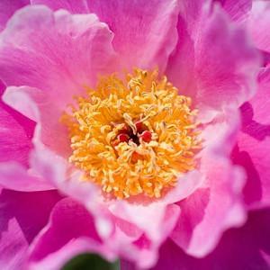 Paeonia Lactiflora 'Pink Dawn', Peony 'Pink Dawn', 'Pink Dawn' Peony, Chinese Peony 'Pink Dawn', Common Garden Peony 'Pink Dawn', Pink Peonies, Pink Flowers