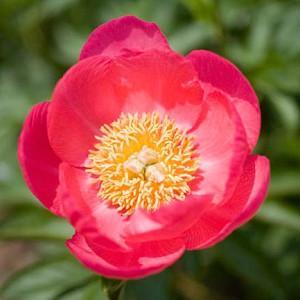 Paeonia 'Golden Glow', Peony 'Golden Glow', 'Golden Glow' Peony, Red Peonies, Red Flowers, Fragrant Peonies