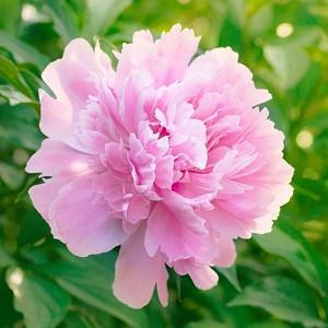 Paeonia Lactiflora 'Dinner Plate', Peony 'Dinner Plate', 'Dinner Plate' Peony, Chinese Peony 'Dinner Plate', Common Garden Peony 'Dinner Plate', Pink Peonies, Fragrant Peonies