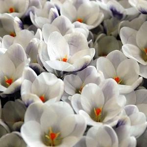 Crocus 'Prins Claus', Crocus Chrysanthus Prins Claus, Snow Crocus Prins Claus, Snow Crocus, Botanical Crocus, Spring Bulbs, Spring Flowers, White Crocus, Early spring bulb, Botanical Crocus