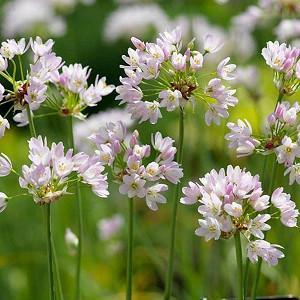 Allium Roseum, Rosy Garlic, Rosy-Flowered Garlic, Ornamental Onion, Spring Bulbs, Spring Flowers , Pink Flowering Onion, Late Spring Flowers, Early Summer Flowers