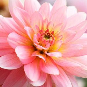Dahlia 'Gerrie Hoeke','Gerrie Hoeke' Dahlia, Water Lily Dahlias, Waterlily Dahlias, Pink Dahlias, Dahlia Tubers, Dahlia Bulbs, Dahlia Flower, Dahlia Flowers, summer bulbs