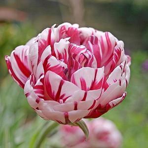 Tulipa Carnaval de Nice,Tulip 'Carnaval De Nice', Double Late Tulip 'Carnaval De Nice', Double Late Tulips, Spring Bulbs, Spring Flowers, Tulipe Carnaval de Nice, Bicolor tulips, Tulipes Doubles Tardives