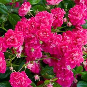 Rosa Super Excelsa, Rose Super Excelsa,  Rose 'Helexa', Rambler Roses, Fragrant roses, Shrub roses, pink roses, Climbing Roses, fragrant roses