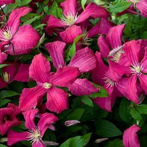 Clematis 'Abundance', Clematis Viticella 'Abundance', group 3 clematis, Red clematis, Red flowers, Red Vines